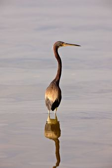 Great Blue Heron In Florida Waters Stock Photography