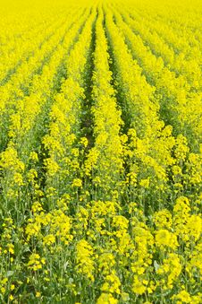 Beautiful Field Of Rape Yellow Flowers Royalty Free Stock Photo