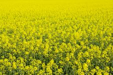 Free Beautiful Field Of Rape Yellow Flowers Stock Photography - 14174952