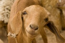 Free Goat Looking Into Camera Stock Photography - 14175252