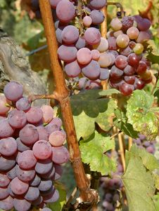Free Two Clusters Of Ripe Red Grapes Stock Photos - 14175263