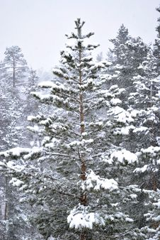Free Fur-tree In Winter Forest Stock Photography - 14176502