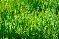 Green Grass In Sunlights Royalty Free Stock Images