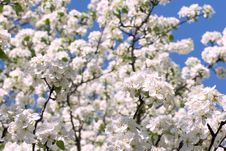 Free Apple Blossom Stock Photo - 14177800