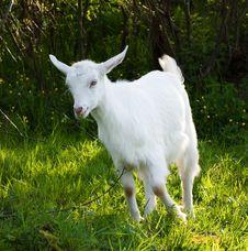 Free Baby Goat Royalty Free Stock Photos - 14177988