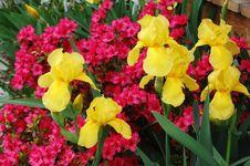Free Colorful Yellow Iris Stock Photo - 14178410