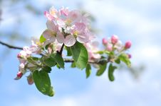 Free Apple Tree Blossom Stock Images - 14178474