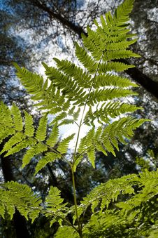 Branch Of Fern Royalty Free Stock Image