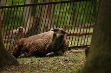 Free Takin Stock Images - 14179174