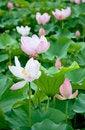 Free Lotus Stock Photos - 14180973