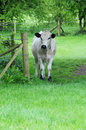 Free White Cow Stock Photos - 14181933