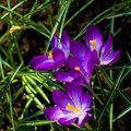 Free Violet Crocuses Stock Photo - 14183050