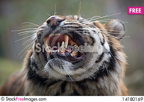 Free Tiger Royalty Free Stock Images - 14180169
