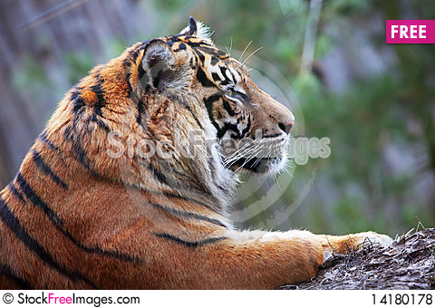 Free Tiger Royalty Free Stock Photos - 14180178