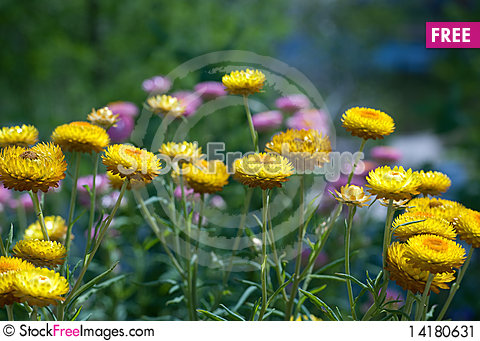 Free Yellow And Pink Straw Flowers Stock Image - 14180631