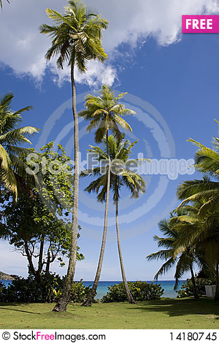 Free Tall Palm Tree In Teh Cirgin Islands Royalty Free Stock Photo - 14180745