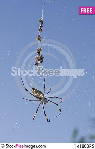 Free Spider With Dead Prey Royalty Free Stock Photo - 14180895