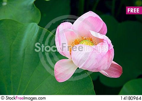 Free Lotus Stock Images - 14180964