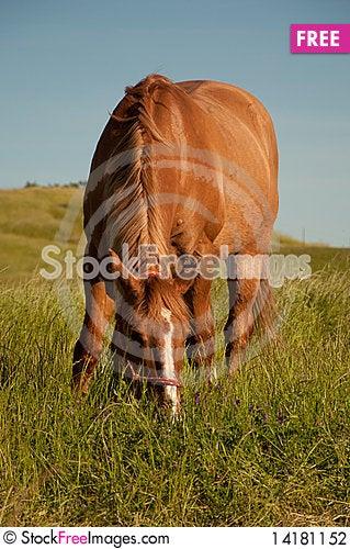 Free Red Dun Quarterhorse Stock Photography - 14181152