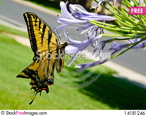 Free Yellow Monarch Royalty Free Stock Image - 14181246