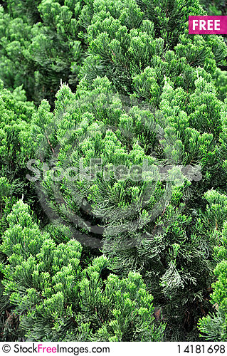 Free Pattern Of Pine Tree Branches Royalty Free Stock Photos - 14181698