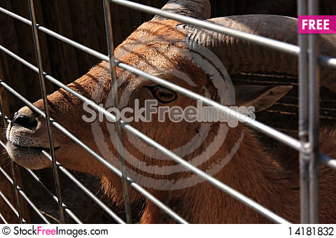 Free Goat Behind A Lattice. Stock Photography - 14181832