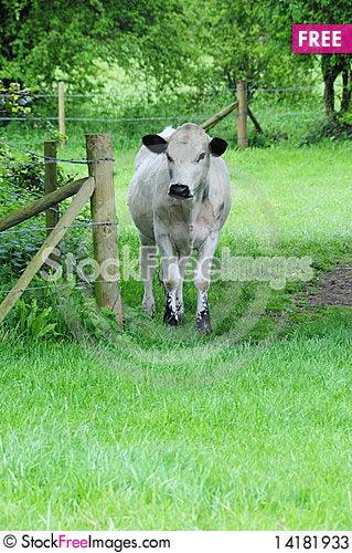 Free White Cow Stock Photos - 14181933