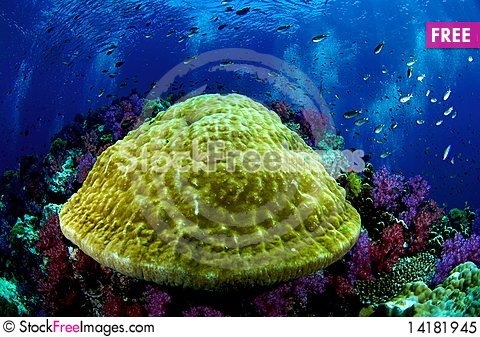 Free Coral Reef Royalty Free Stock Photo - 14181945