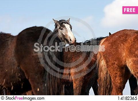 Free Wild Horses Royalty Free Stock Photo - 14182365