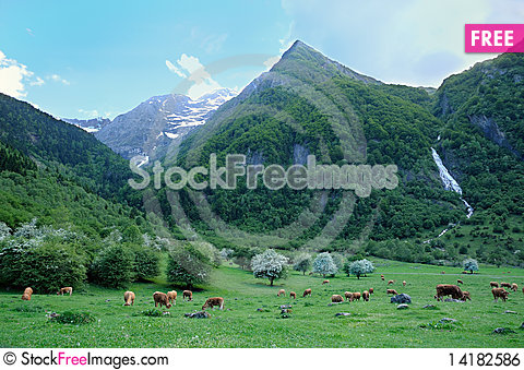 Free Cows In Mountain Royalty Free Stock Image - 14182586
