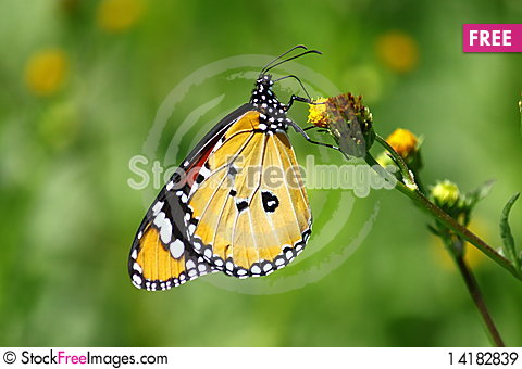 Free Butterfly Royalty Free Stock Images - 14182839