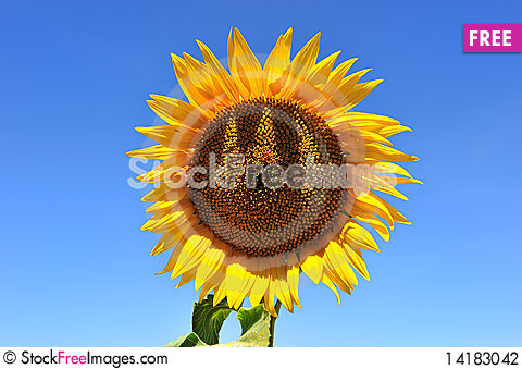 Free Sunflower-four Stock Photography - 14183042