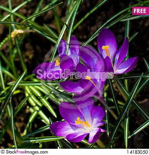 Free Violet Crocuses Stock Photo - 14183050