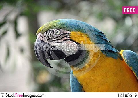 Free Blue And Gold Macaw Royalty Free Stock Images - 14183619