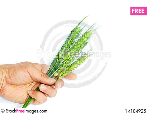Free Wheat Ears In Hand Royalty Free Stock Photo - 14184925