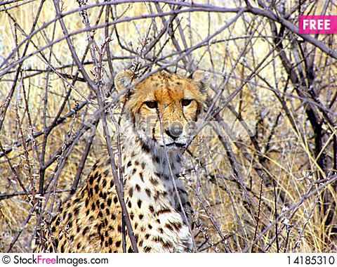 Free Wild Cheetah Stock Photo - 14185310