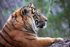 Free Tiger Royalty Free Stock Photos - 14180178