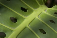 Free Large Tropical Leaf With Holes Royalty Free Stock Photos - 14180728