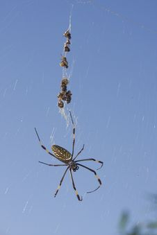 Spider With Dead Prey Royalty Free Stock Photo
