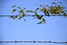 Free Leaf Barbed Wire Border Royalty Free Stock Photo - 14183155