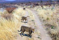 Free Wild Cheetahs Royalty Free Stock Photography - 14185277