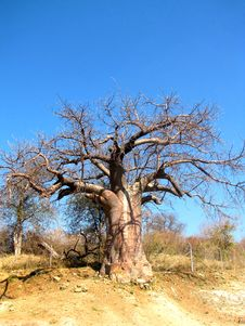 Free Baobab Tree Royalty Free Stock Photos - 14185498