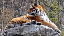 Free Tiger Royalty Free Stock Images - 14187079