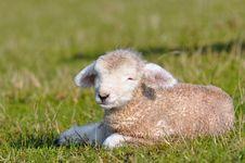 Free Lamb 1 Day Old Stock Image - 14187091
