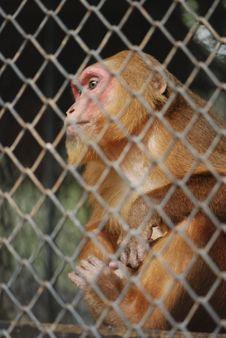 Free Sad Monkey. Royalty Free Stock Photo - 14187275