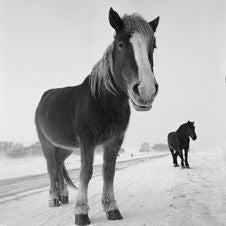 Free Horse Royalty Free Stock Photo - 14188265