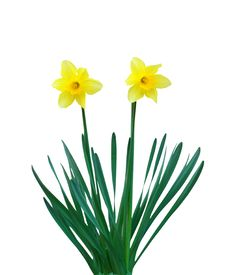 Free Two Narcissuses Stock Images - 14188414