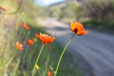 Free Wild Poppies By The Side Of The Roa Royalty Free Stock Images - 14189359