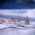 Free Grass In The Snow Field Royalty Free Stock Images - 14191499