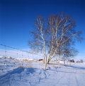 Free White Birch In The Snow Field Stock Photos - 14192073